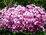 Home Comforts Canvas Print Summer Lilac Flower Plant Buddleja Colorful Stretched Canvas 10 x 14