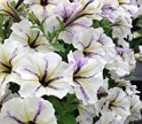 Cloud Hanging 150 Petunia Seeds Upc 650327337725