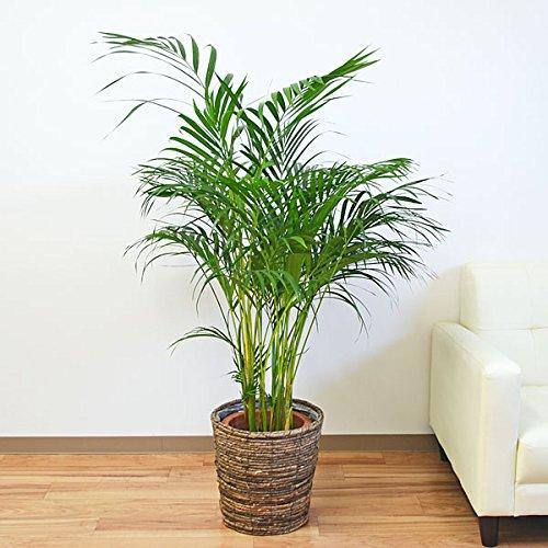 観葉植物 アレカヤシ 8号 鉢カバー付き B01L6P5HEG  ブラウン