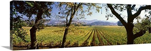 Premium Outdoor Canvas Wall Art Print entitled Vines in a vineyard, Far Niente Winery, Napa Valley, California,