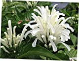 "FYR 1 Bare Rooted 4"" White Brazilian Plume Flower 'Justicia Carnea' - LY259"