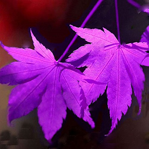 Buy maple seed pods