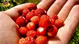 buy Seeds Rare Strawberry Regina Everbearing Climbing Berries Organic Ukraine for Planting now, new 2019-2018 bestseller, review and Photo, best price $6.99