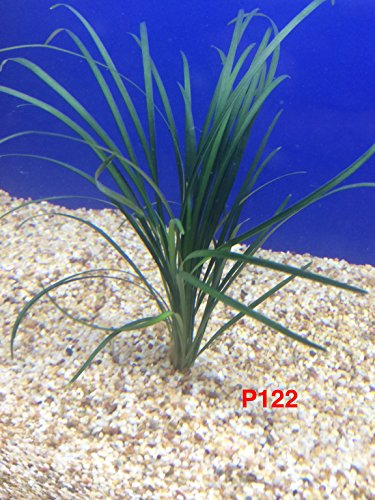 Ophiopogon Japonica P122 Live Aquarium Plant Buy 2 Gets