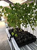 White Mulberry Tree - Morus Alba - Live Tree - Not Dwarf - Live Plant