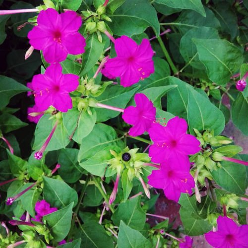Portal Cool Purple Four-O'Clock Seeds 20 Seeds Mirabilis for sale  Delivered anywhere in USA