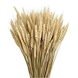 Purple GO2 Golden Dried Natural Wheat Sheave Bundle Premium Fall, (100 Pieces) 2M Natural Laces Burlap Craft Lace Ribbon Roll for DIY Design(Dried Wheat)
