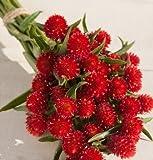 David's Garden Seeds Flower Gomphrena Strawberry Fields D1512 (Red) 50 Open Pollinated Seeds