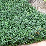 ASIATIC JASMINE, ground cover, erosion control, low maintenance, grows fast- Size: 1 gallon