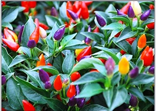 (PEPPER,Chilli, 50 Seeds,