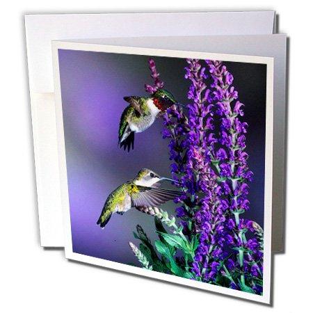 3dRose Danita Delimont - Hummingbird - Ruby-throated Hummingbirds at Lubeca Meadow Sage Salvia - 1 Greeting Card with envelope (gc_250981_5) (Salvia Meadow Sage)