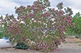 Desert Willow Seeds Tree/Bush with Orchid Like Flowers Chilopsis Linearis