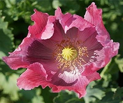 The Giant - Poppy Somniferum Seeds