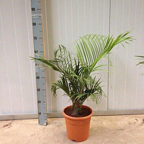 Dypsis decaryi 80 cm Dreieckspalme Zimmerpflanze Palme Blumenversand