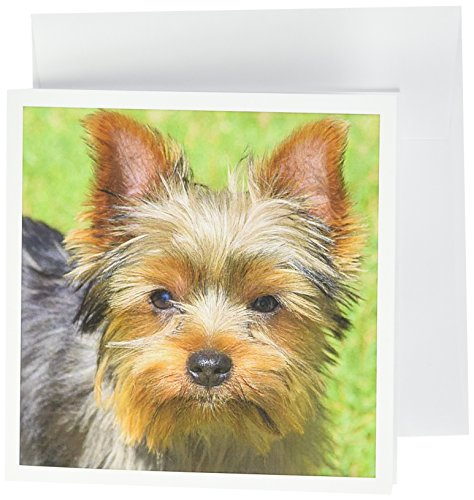 3dRose Yorkshire Terrier Looking Up at You Greeting Cards, 6
