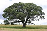 2 Seed - Sclerocarya birrea SSP caffra - African Marula Tree - Seeds