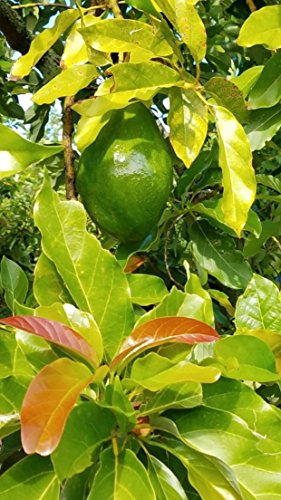 Avocado – Sunset Groves – Farm to Table – Picked Fresh – 4 Count by Sunset Groves (Image #4)'