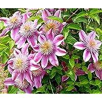 Potseed . 100 Piezas Clematis Rosado Raro Real RARA Clematis Crecimiento Vegetal Natural al Aire Libre Jardín de Plantas…