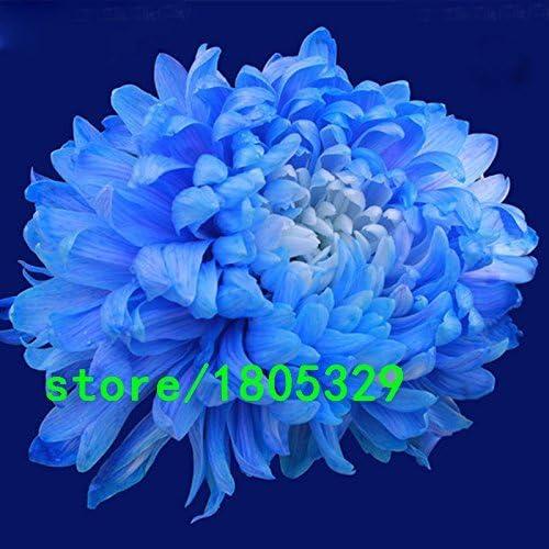 Venta caliente raras semillas azules del color blanco del crisantemo Crisantemo Semillas Morifolium planta en maceta de la flor para el jardín de DIY 100PCS: Amazon.es: Jardín