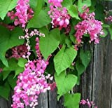 ANTIGONON LEPTOPUS, CORAL VINE, QUEEN'S WREATH, 20+ FRESH SEEDS PICKED 2017