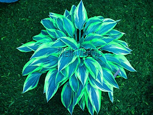 (Sale!100pcs/pack hosta Seeds perennials Plantain Beautiful Lily Flower White lace Home Garden Ground Cover Plant, 1w8t65 )