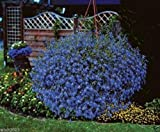 300 seeds - Lobelia Seeds ,Trailing Sapphire, Hanging baskets,Trailing over window or Wall