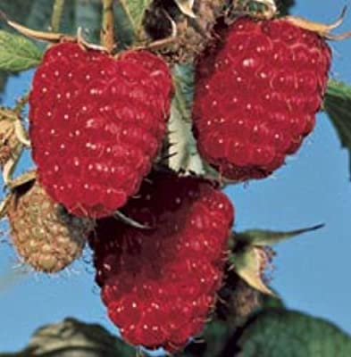 100 Autumn Britten Raspberry Seeds