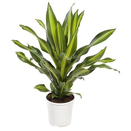 Dracaena Burley | Plante dépolluante | plante d'intérieur| hauteur 105 cm | Pot 24 cm | Entretien facile