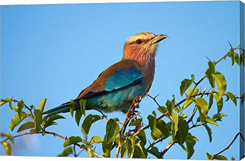 (Lilac-Breasted Roller, Nxai Pan National Park, Botswana, Africa by David Wall/Danita Delimont Canvas Art Wall Picture, Gallery Wrap, 42 x 28 inches)