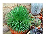 Agave stricta Cactus Cacti Real Live Plant