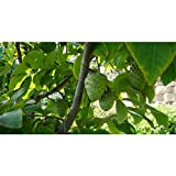 Vietnamese Cherimoya Tropical Fruit Trees 3-4 Feet Height in 3 Gallon Pot #BS1
