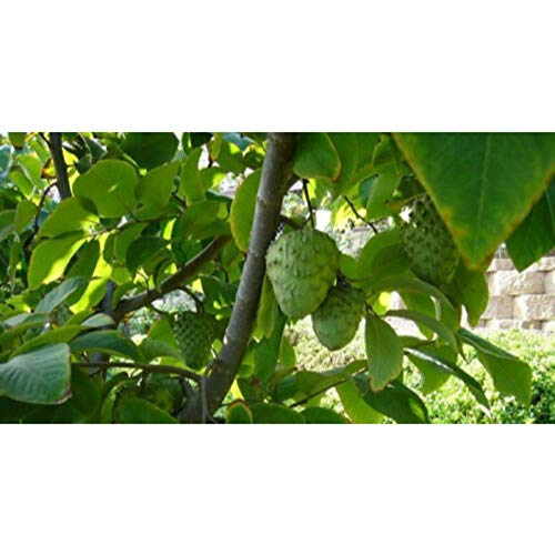 Vietnamese Cherimoya Tropical Fruit Trees 3-4 Feet Height in 3 Gallon Pot #BS1 by iniloplant (Image #3)
