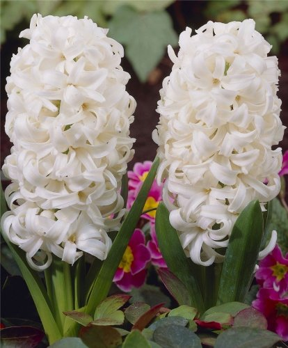 10 Hyacinth Bulbs - White Pearl - Freshly Imported from Holland by Boekee's Nursery