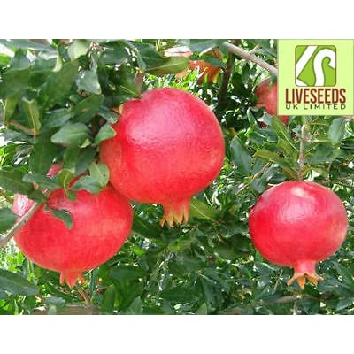 "Liveseeds - Best -pomegranate in the world ""Angel red""sweet pomegranate 10 live seeds-Bonsai : Garden & Outdoor"