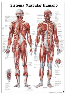 the-human-muscular-system-laminated-anatomy-chart-sistema-muscular-humano-in-spanish