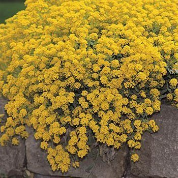- Outsidepride Alyssum Mountain Gold Ground Cover Seed - 10000 Seeds