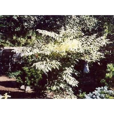 Variegated Chinese Aralia Elata 'Variegata' 10 Seeds : Garden & Outdoor