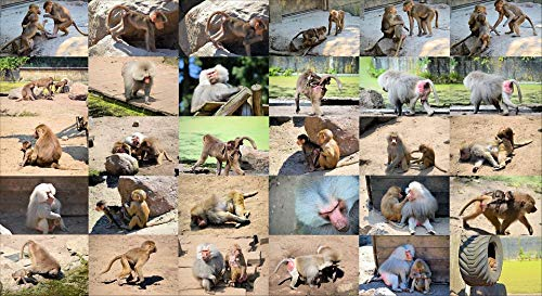- Home Comforts Peel-n-Stick Poster of Baboon Ape Animal Monkey Wild Collage Wildlife Vivid Imagery Poster 24 x 16 Adhesive Sticker Poster Print