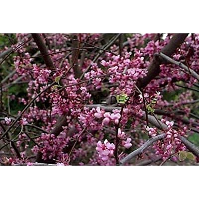 AchmadAnam 3-4' Three Trees American Eastern Redbud Tree : Garden & Outdoor