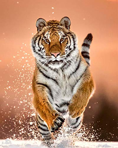 (Majestic Tiger Set- 2 Piece-8 x 10's Animal Wall Art- Ready to Frame. Beautiful Tiger Crouching & Running Wall Prints for Home, School & Office Décor. Safari & Jungle Theme Wall Decor. Great Cat Gift!)