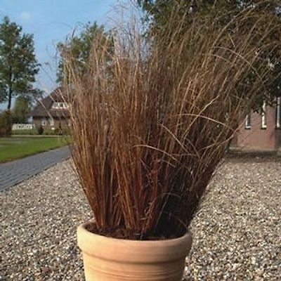 10 Carex Seeds - Red Rooster- Ornamental Grass Seed - Carex Sedge ()