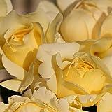 Winter Sun Eleganza Rose Bush | Grown Organic Potted Yellow Hybrid Tea Rose - Own Root Easy To Grow Stargazer Perennials