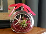 Hinterland Trading Valentine's Day Gift Air Plant Tillandsia Starfish Glass Hanging Terrarium Beautiful Houseplant