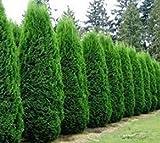 Emerald Green Arborvitae Tree ( Thuja ) - 1-2 Feet Tall - Trade Gallon Pot