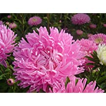 Double Salmon Giant Aster Seeds Krallen Chinchilla Annual Cutting Flowers