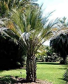 PLAT FIRM: Butia capitata strictior Upright Hardy PM Seeds!