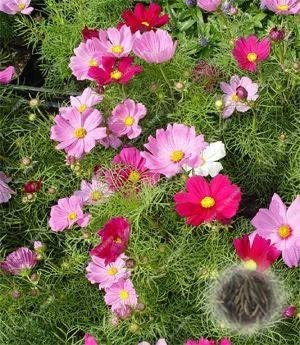 Amazon 100 Pcsbag Cosmos Perennial Flower Seeds Planted For