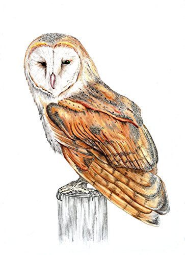amazon com barn owl pen and ink and colored pencils original