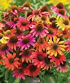 Warm Summer Coneflower Seeds (Echinacea) 50 Seeds Upc 647923988932