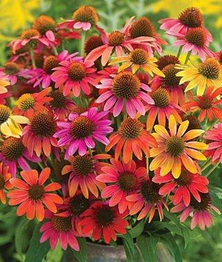 Warm Summer Coneflower Seeds (Echinacea) 50 Seeds Upc 647923988932 (Seeds & Bulbs)